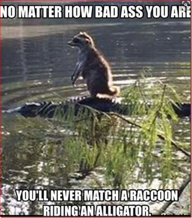 Raccoon of alligator